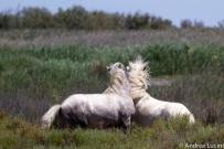 Dueling_Horses.jpg