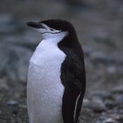 Chinstrap Penguin - Antartide